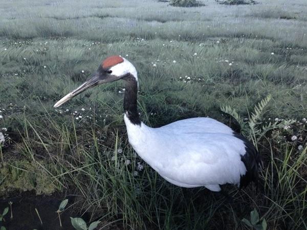 自然公园 丹顶鹤是日本的国家指定「特别天然纪念物」,仅栖息於北海道