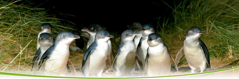 第7天 黃金海岸 ~ 布里斯本 ~ 墨爾本 ~ 聖伯多祿大教堂 ~ 戰爭紀念堂 ~ 菲臘島 ~ 觀賞神仙企鵝回巢(Penguin Plus專區) Gold Coast ~ Brisbane ~ Melbourne ~ St Patrick Cathedral ~ Shrine of Remembrance ~ Phillip Island ~ Penguin Paradise (Penguin Plus) 聖伯多祿大教堂 是南半球最大最高的天主教堂。位在高樓林立的墨爾本市區,耗時90年的光陰打造,哥德式的
